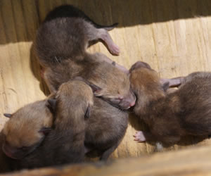 The four swift fox kits less than a week after birth.